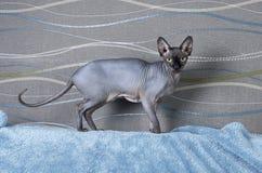 Gato negro de Sphynx del canadiense Imágenes de archivo libres de regalías