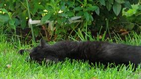 Gato negro del doblez del escocés almacen de video