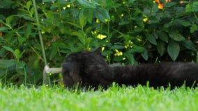 Gato negro del doblez del escocés almacen de metraje de vídeo