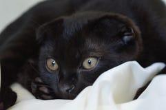 Gato negro del doblez 3 meses Imagenes de archivo