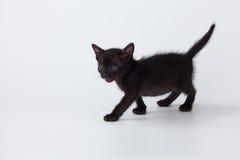 Gato negro del gatito lindo que camina en el fondo blanco Fotos de archivo libres de regalías