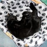 Gato negro dormido en cesta Fotos de archivo