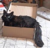 Gato negro en una caja Fotos de archivo libres de regalías