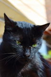 Gato negro enojado con los ojos verdes Fotos de archivo