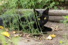 Gato negro hermoso de Bombay con los ojos amarillos imagenes de archivo