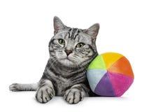 Gato negro hermoso de británicos Shorthair del gato atigrado con los ojos verdes que coloca con la bola colorida del juguete del  Imágenes de archivo libres de regalías