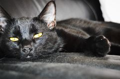 Gato negro - Lamar Imagen de archivo