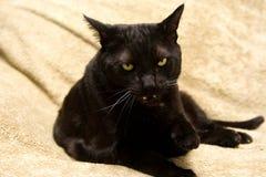 Gato negro malo Foto de archivo libre de regalías