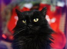 Gato negro mullido en el fondo de las decoraciones de la Navidad Buen alcohol del Año Nuevo Imágenes de archivo libres de regalías