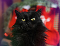Gato negro mullido en el fondo de las decoraciones de la Navidad Buen alcohol del Año Nuevo Imagen de archivo libre de regalías