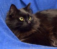 Gato negro mullido en un fondo azul Fotografía de archivo