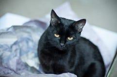 Gato negro peligroso Fotos de archivo libres de regalías