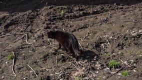 Gato negro que camina en el jardín, cámara lenta almacen de video