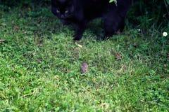 Gato negro que caza un pequeño ratón de campo imágenes de archivo libres de regalías