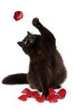 Gato negro que coge el pétalo color de rosa aislado Foto de archivo libre de regalías
