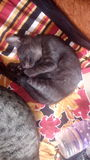 Gato negro que duerme pacífico Fotografía de archivo
