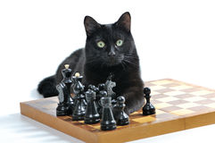Gato negro que miente en el tablero de ajedrez con las figuras aisladas en blanco Imagen de archivo libre de regalías