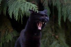 Gato negro que ruge Foto de archivo