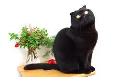 Gato negro que se sienta en un taburete en un fondo blanco Fotografía de archivo