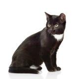 Gato negro que se sienta y que mira lejos Aislado en el fondo blanco Foto de archivo