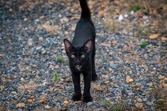 Gato negro tailand?s con los ojos amarillos imágenes de archivo libres de regalías