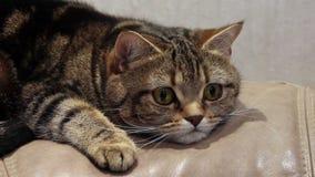 Gato nervioso de mentira en el sofá metrajes