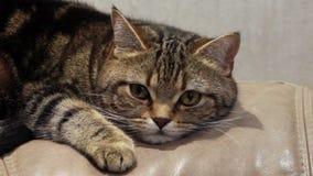 Gato nervioso de mentira en el sofá almacen de metraje de vídeo