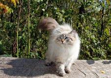 Gato nevsky siberiano Imagenes de archivo