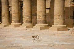 Gato no acesso do porticado ao templo dedicado ao Isis da deusa Philae fotografia de stock royalty free