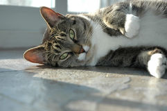 Gato no assoalho Imagens de Stock Royalty Free