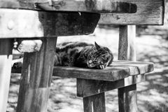 Gato no banco de madeira preto e branco Foto de Stock Royalty Free
