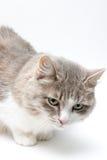 Gato no branco Fotografia de Stock Royalty Free