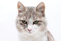 Gato no branco Imagens de Stock