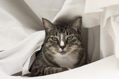 Gato no branco Imagens de Stock Royalty Free