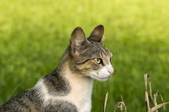 Gato no campo com grama borrada no fundo Fotografia de Stock Royalty Free