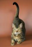 Gato no estúdio Imagens de Stock