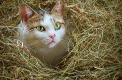 Gato no feno Fotografia de Stock Royalty Free