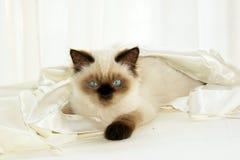 Gato no pano foto de stock royalty free