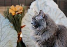 Gato noruego azul del bosque que se sienta de lado Imagen de archivo