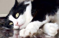 Gato noruego blanco y negro del bosque que se acuesta en el piso