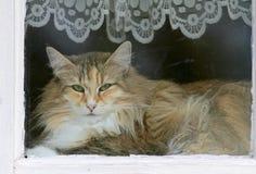 Gato noruego del bosque femal Foto de archivo libre de regalías