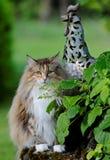 Gato noruego del bosque femenino en jardín soleado foto de archivo