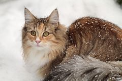Gato noruego del bosque femenino y muchos copos de nieve Imagen de archivo libre de regalías