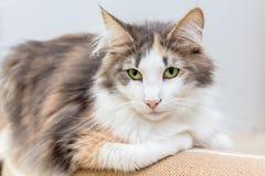 Gato noruego hermoso del bosque con los ojos verdes imagen de archivo libre de regalías