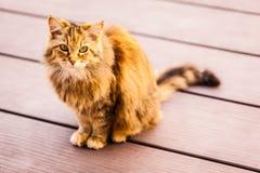 Gato norueguês Imagem de Stock