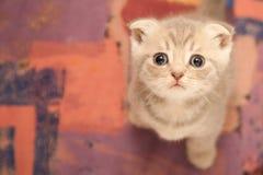 Gato novo britânico Foto de Stock Royalty Free