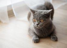 Gato novo britânico com olhos alaranjados Fotografia de Stock Royalty Free