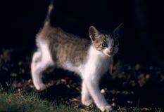 Gato novo da vaquinha com fundo escuro Fotos de Stock Royalty Free