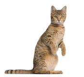 Gato novo de Bengal, 7 meses velho, posição Foto de Stock Royalty Free