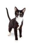 Gato novo preto e branco atento fotos de stock